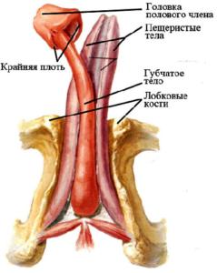 перелом полового члена и его лечение
